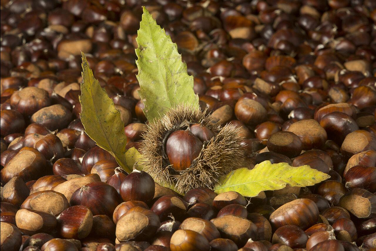 tappeto di castagne con riccio e foglie