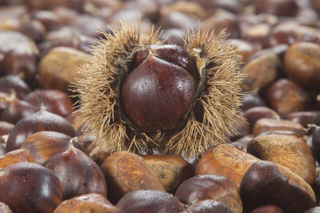 riccio aperto di castagne su tappeto di castagne