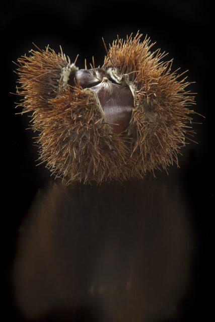 riccio di castagne semi aperto su fondo nero